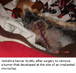 yorkshire terrier with microchip associated cancer